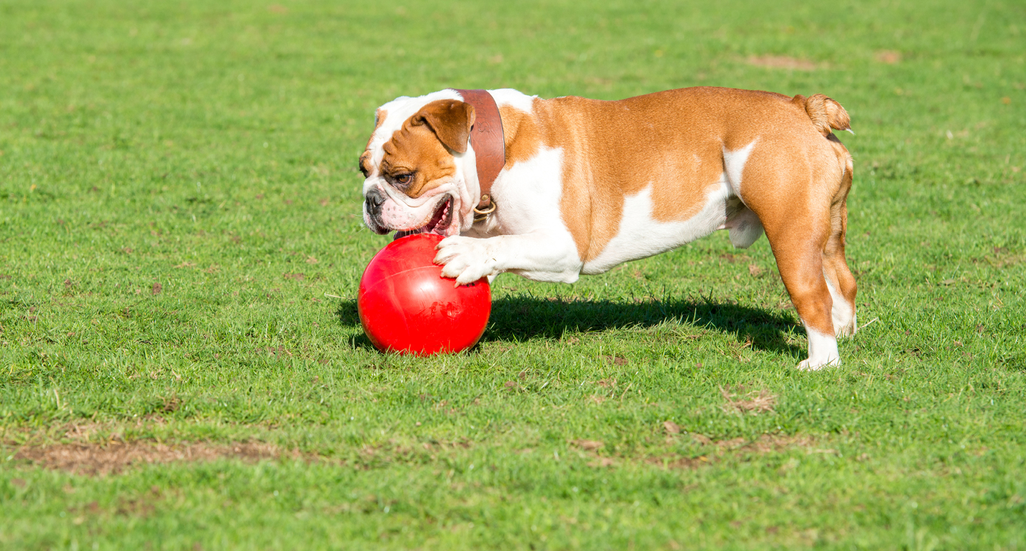 Bulldog playing with a Boomer Ball