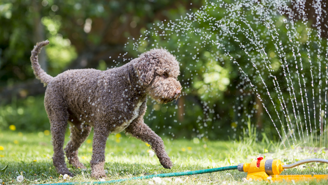 A dog playing with a sprinkler in a garden