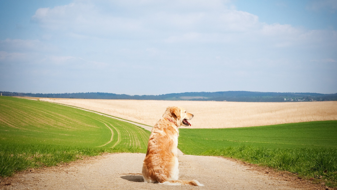 A dog sat on a path between to fields