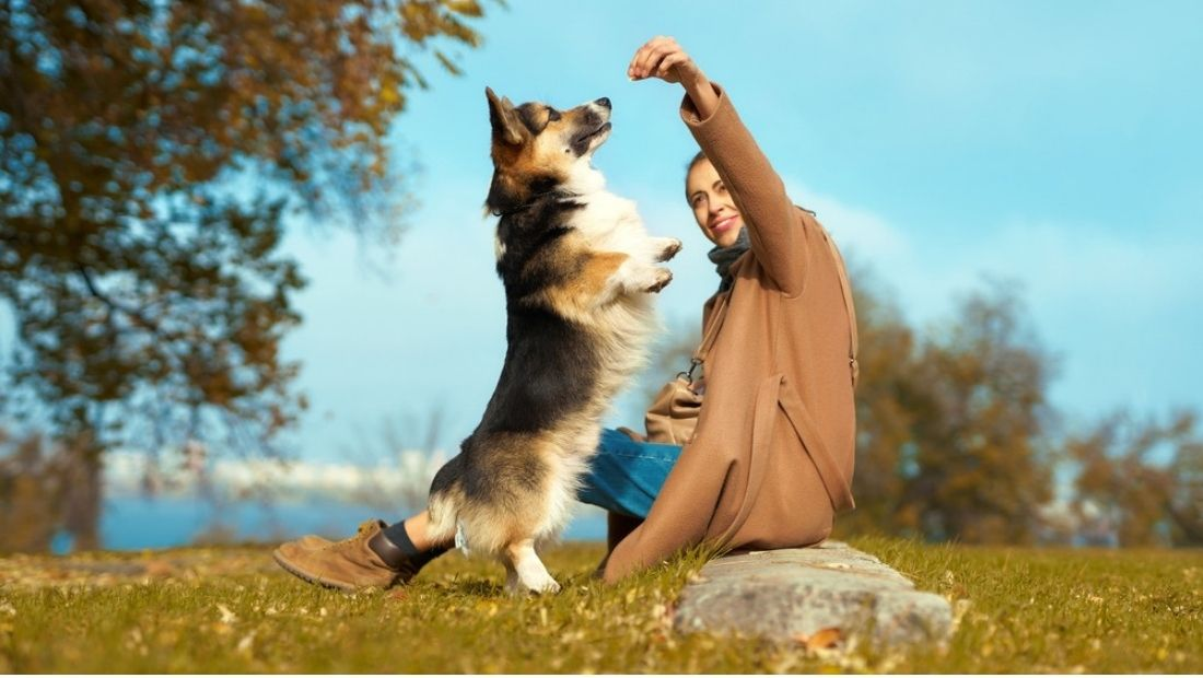 a corgie standing on their back legs gets a treat from a woman sat in a field